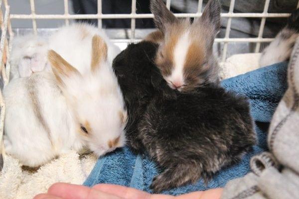 46 kaniner overdraget til Dyrenes Beskyttelse