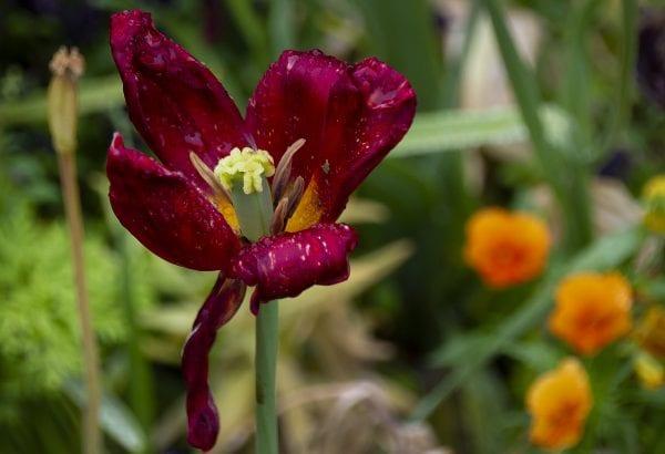 10.000 blomsterløg kan afhentes på Stændertorvet på mandag